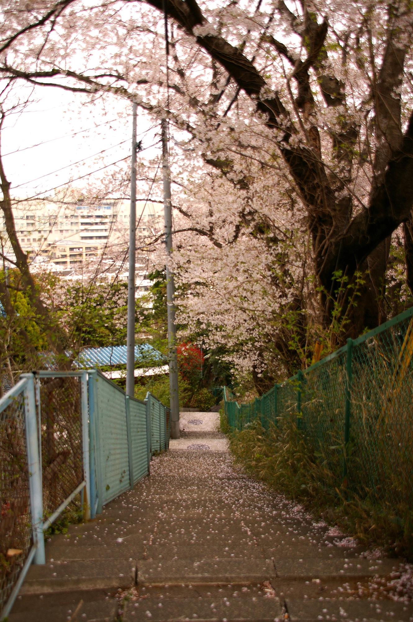 桜の下の道の写真のフリー素材