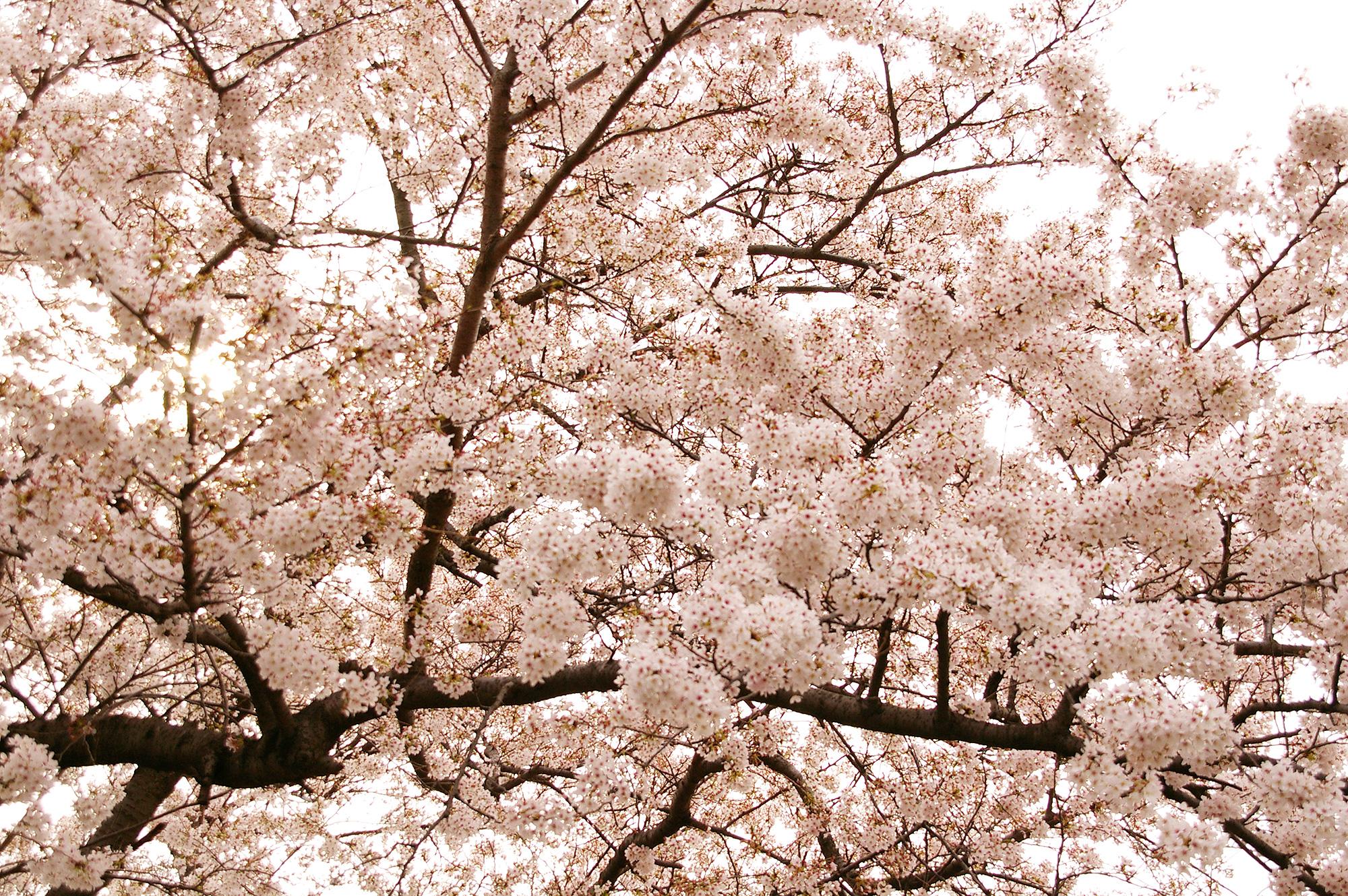 満開の桜の写真のフリー素材