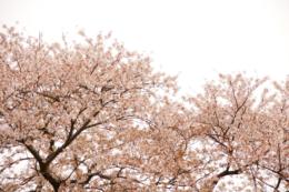 白バックの桜の写真のフリー素材