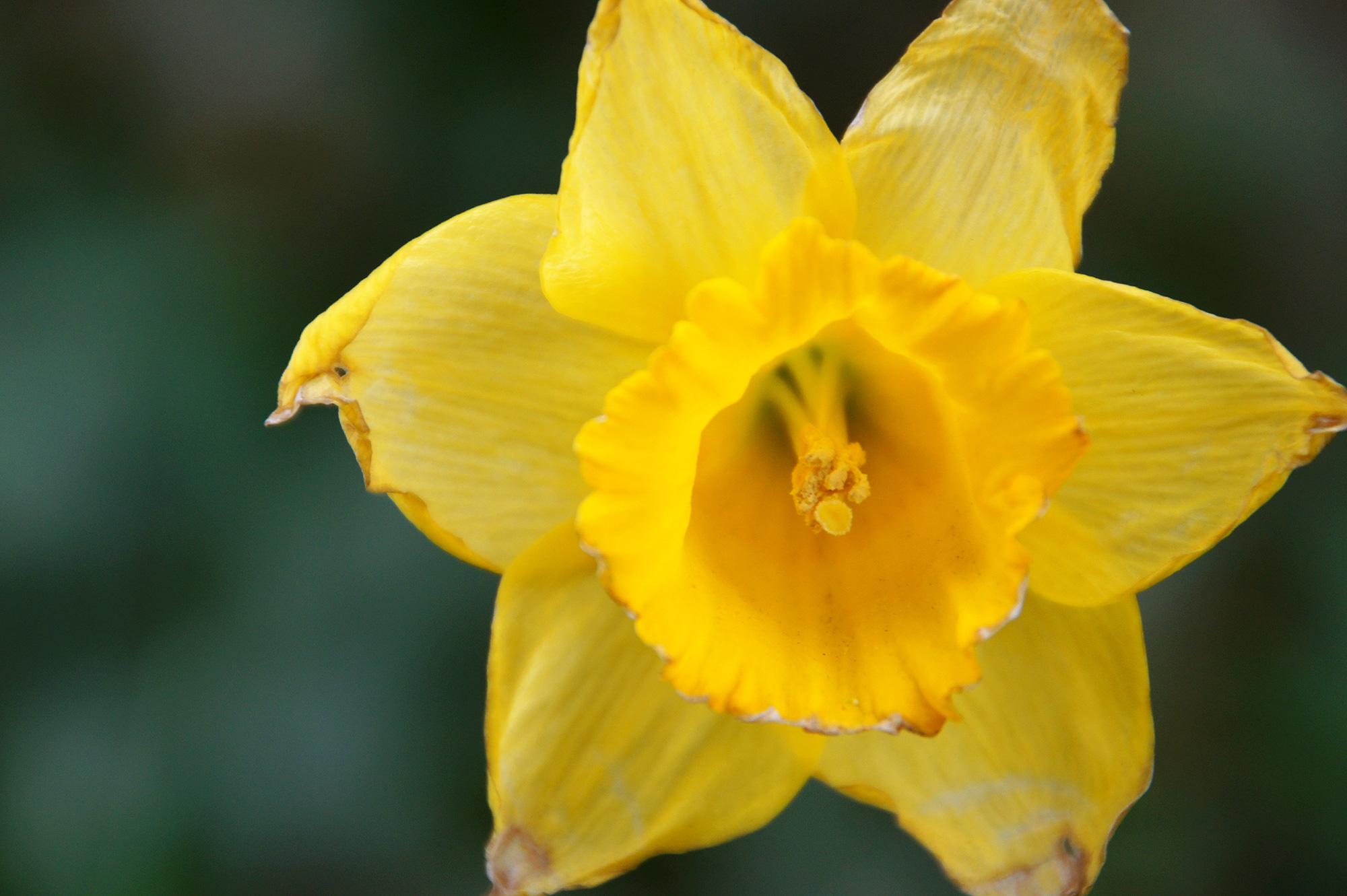 水仙の黄色い花の写真のフリー素材