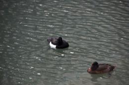 寒そうな水鳥の写真のフリー素材