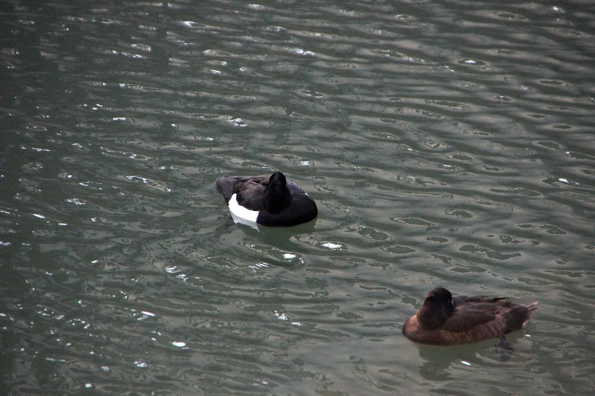 寒そうな水鳥