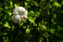 白いハイビスカスの写真のフリー素材