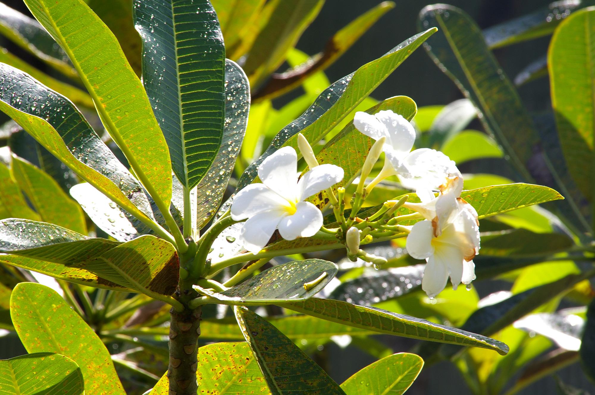 プルメリアの白い花の写真のフリー素材