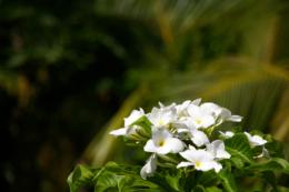 プルメリアの写真のフリー素材
