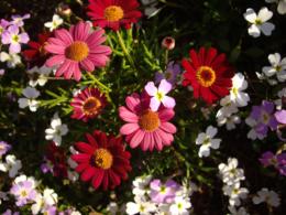 濃いピンクの花の写真のフリー素材