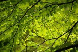 葉に透ける日光