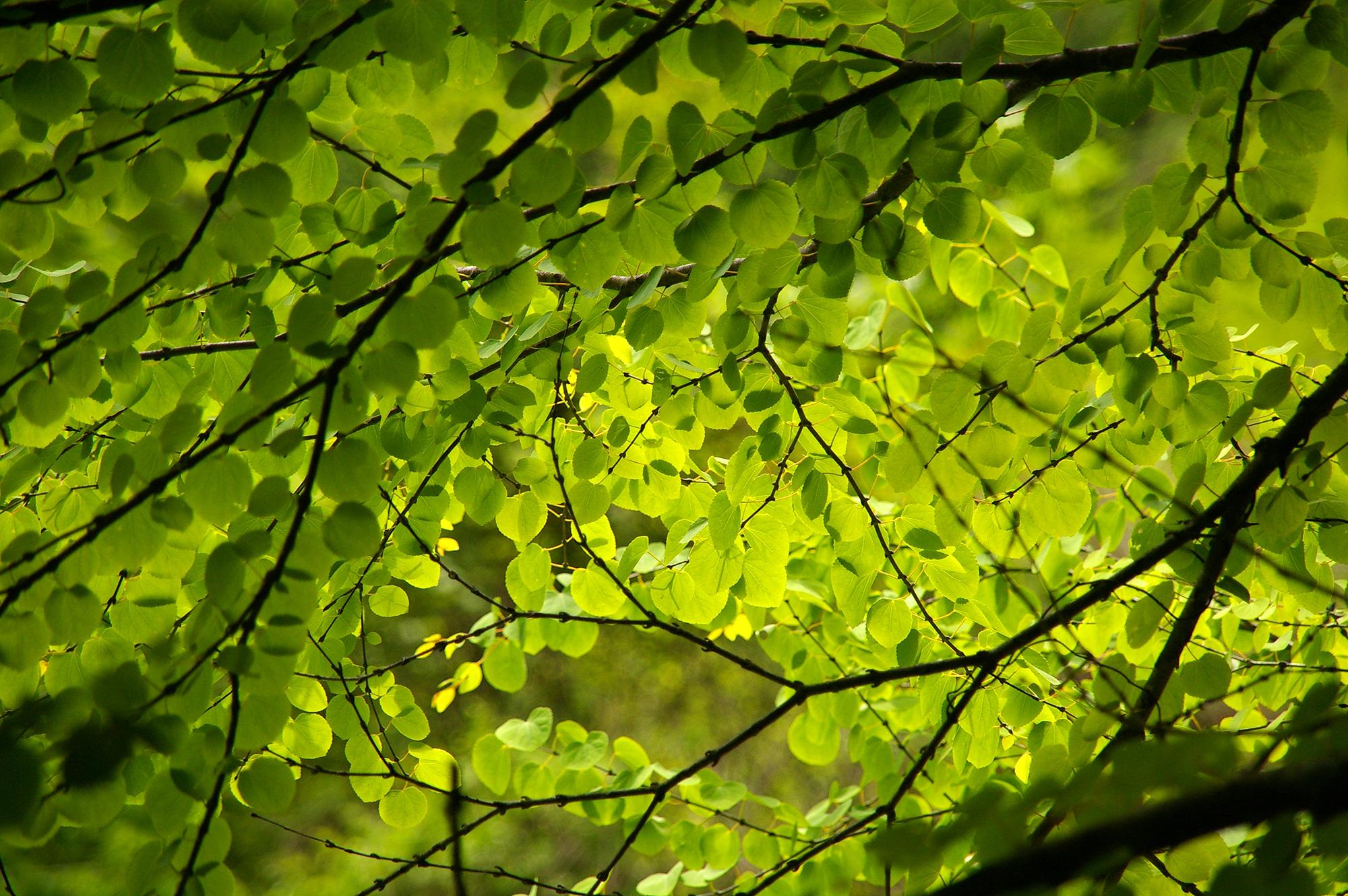 葉に透ける日光の無料写真素材