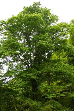 森の大木の無料写真素材