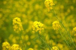 菜の花の無料写真素材