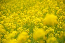 咲き乱れる黄色い菜花の無料写真素材