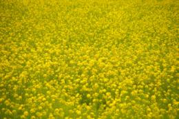 菜の花畑の無料写真素材