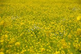 広い菜花畑の無料写真素材