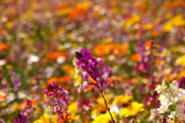 お花畑の紫色の花