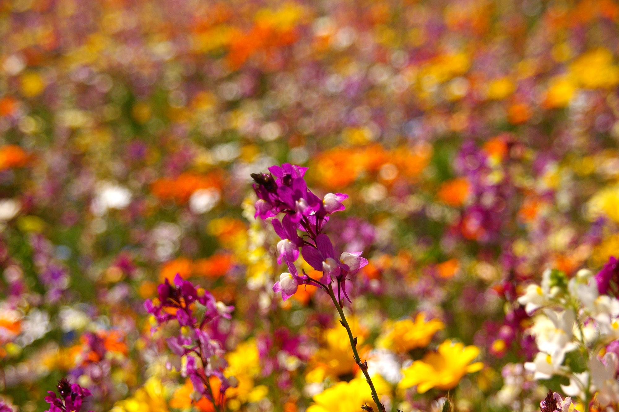 お花畑の紫色の花の写真のフリー素材