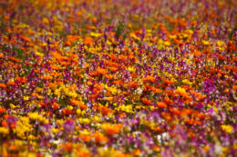 小さな花たちが咲くお花畑の写真のフリー素材
