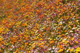 鮮やかな色のお花畑の写真のフリー素材
