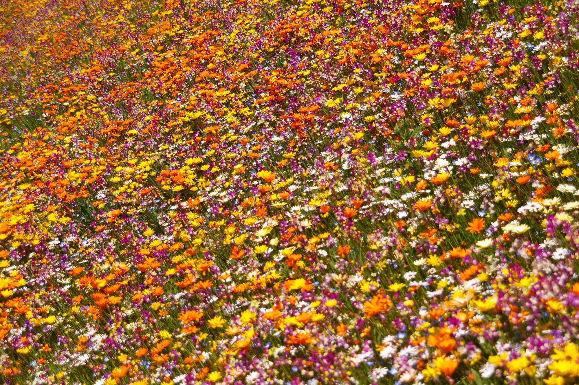 鮮やかな色のお花畑
