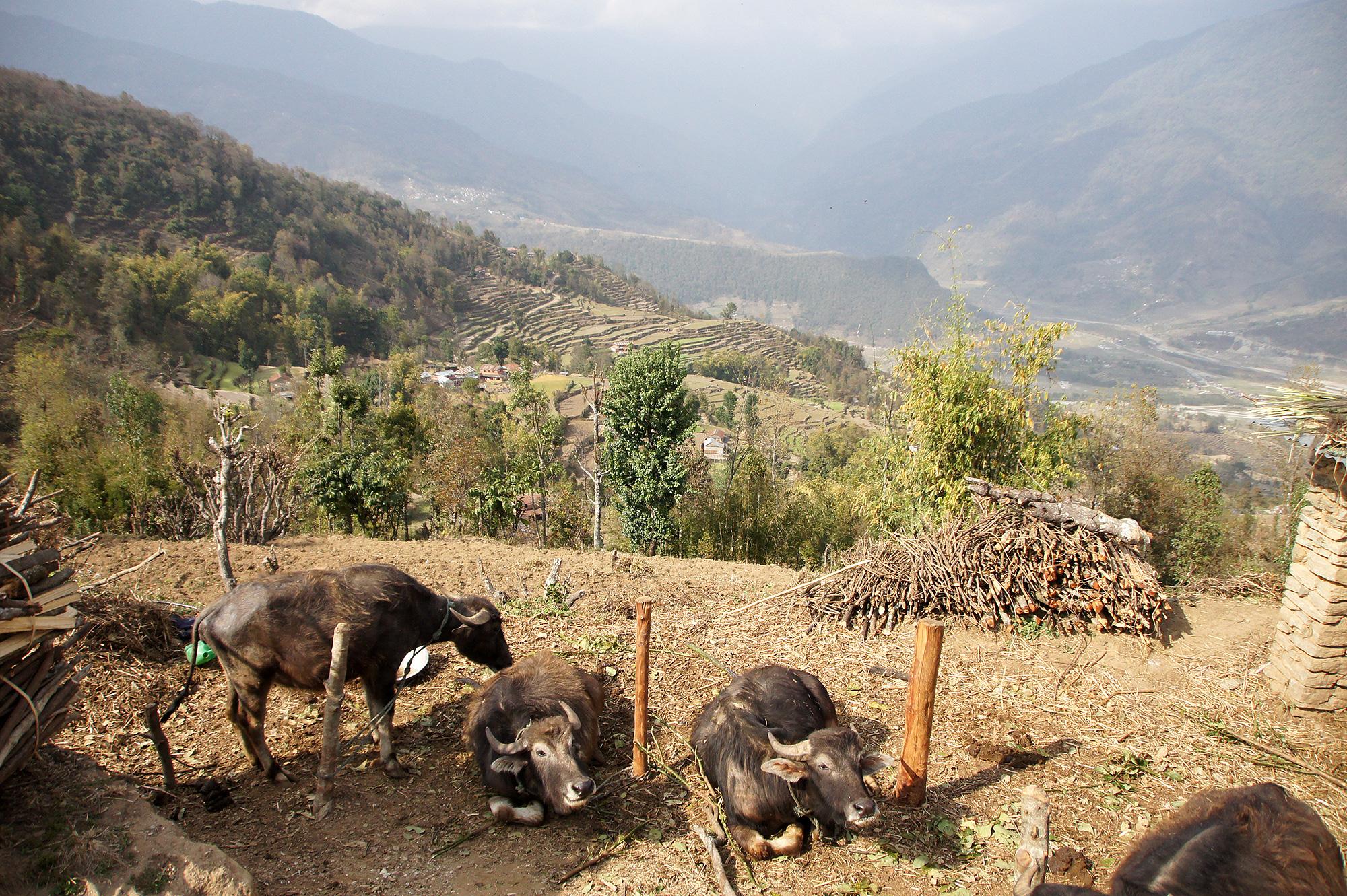 仲良しの水牛の写真のフリー素材