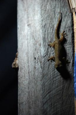 夜のヤモリのフリー写真素材