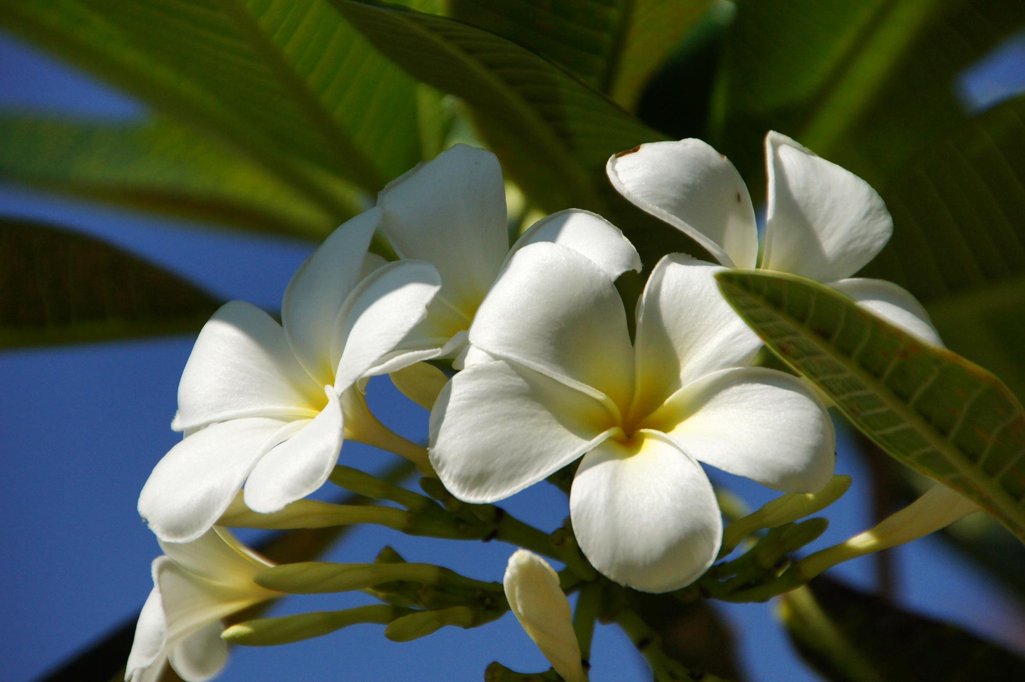 プルメリアの花のフリー写真素材