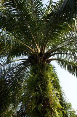 大きなヤシの木のフリー写真素材