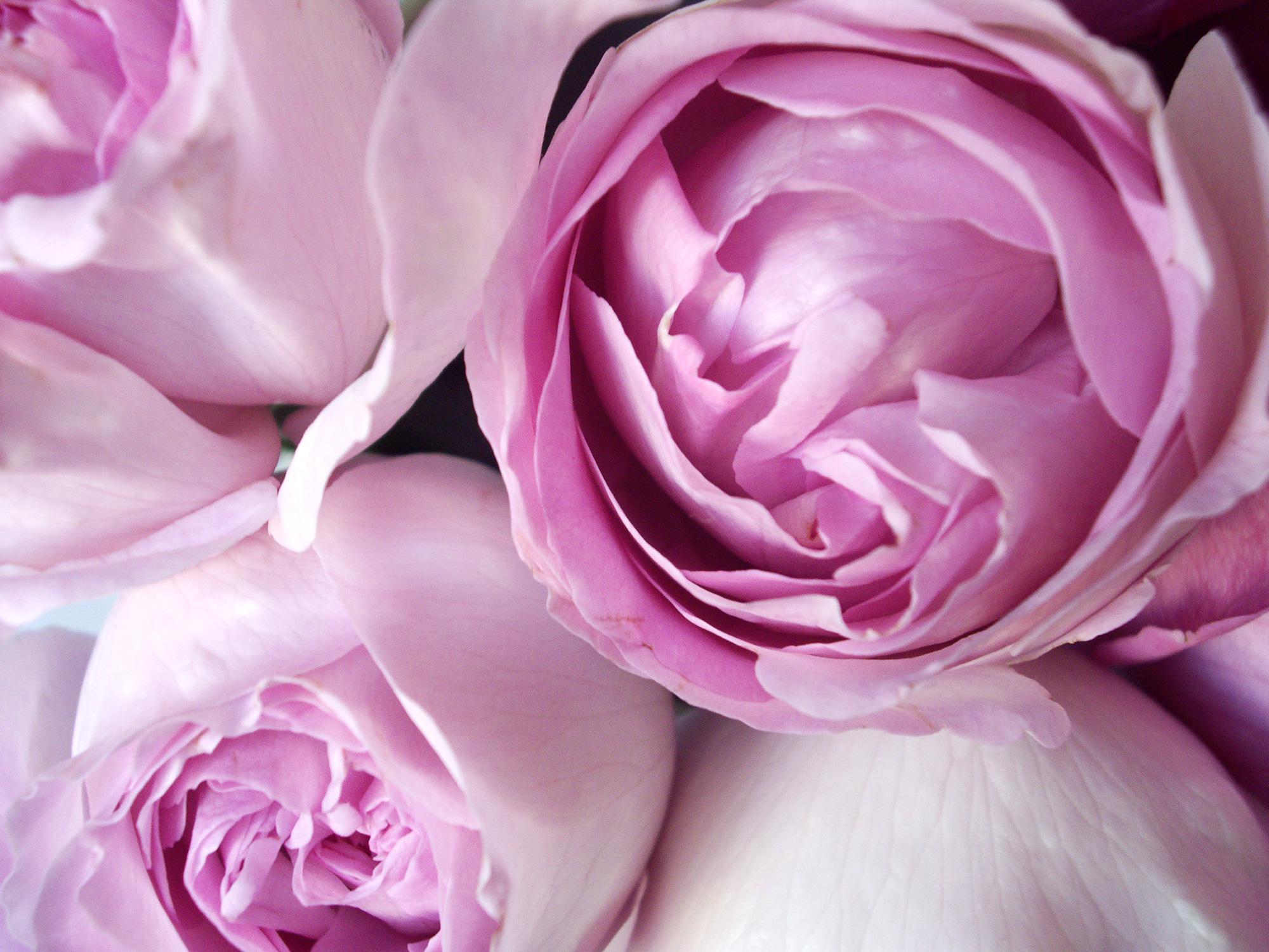 ピンク色のバラの花のフリー写真素材