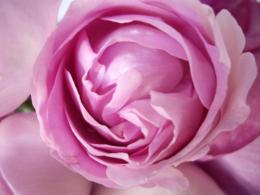 ピンクのばらのフリー写真素材