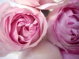 薄紫のバラのフリー写真素材