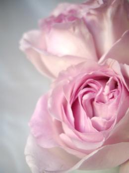 薄くて淡い色の薔薇の花のフリー写真素材