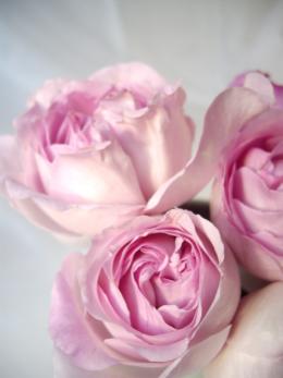 淡いピンクの薔薇のフリー素材