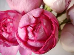 濃いピンクの薔薇の写真のフリー素材