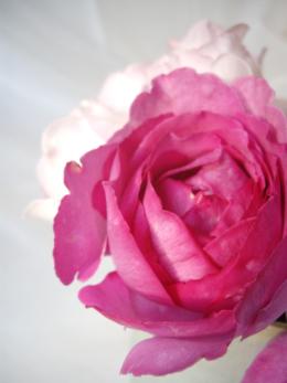 濃い色の薔薇の花の無料写真素材
