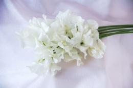 白いスイトピーのフリー写真素材