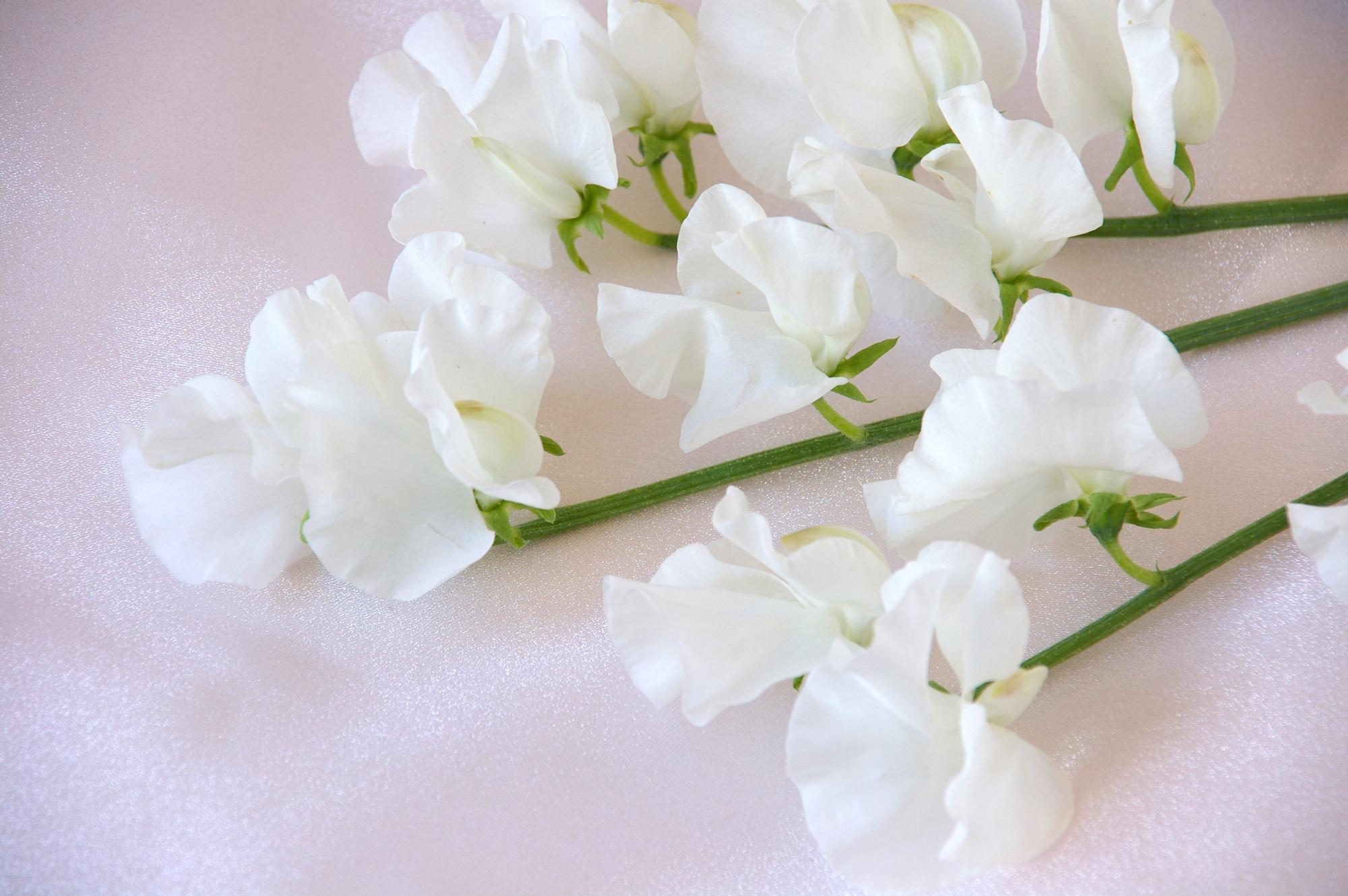 白色のスウィートピーのフリー写真素材