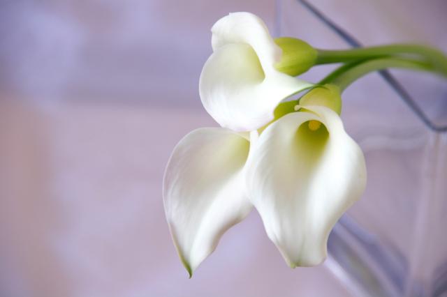 白いカラーの花の写真のフリー素材