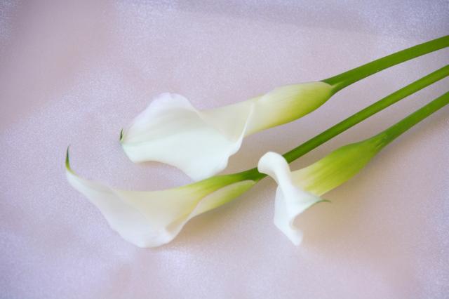 カラーの花のフリー写真素材