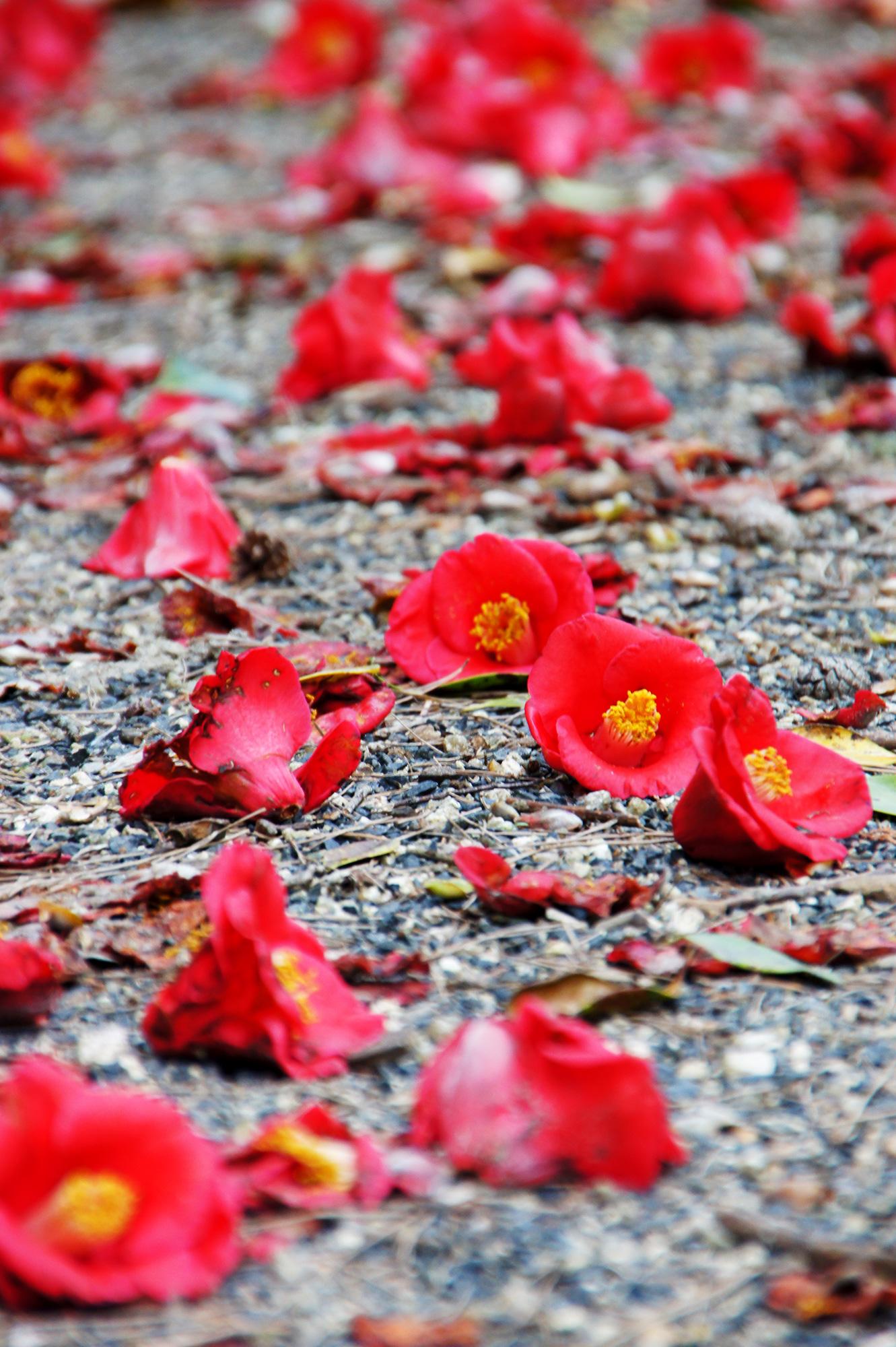 地面に落ちている椿の花の写真のフリー素材