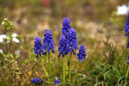 野外に咲くムスカリのフリー写真素材