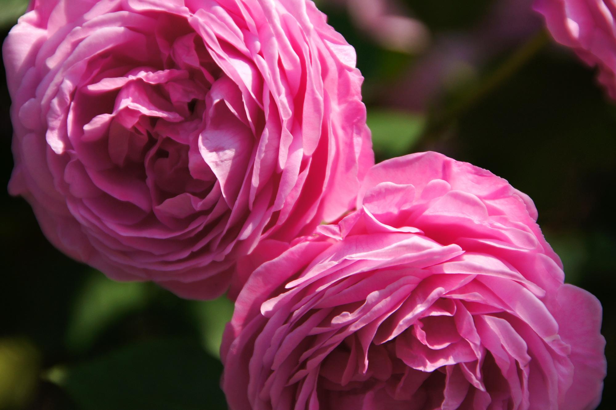 ピンク色の薔薇の花の無料写真素材