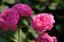 鮮やかなピンクのバラのフリー写真素材