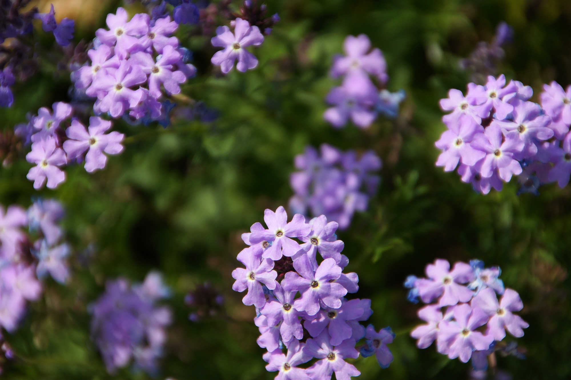 紫色のバーベナのフリー素材