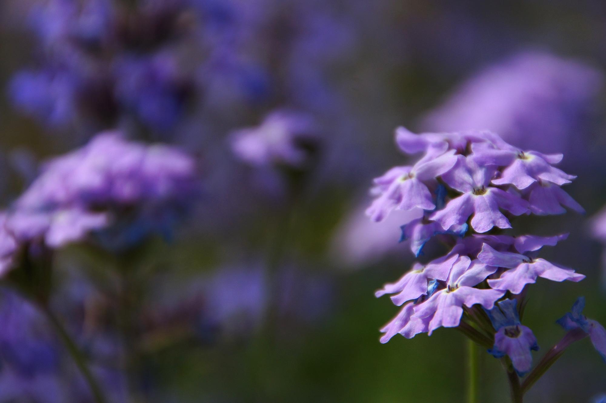バーベナの花のフリー素材