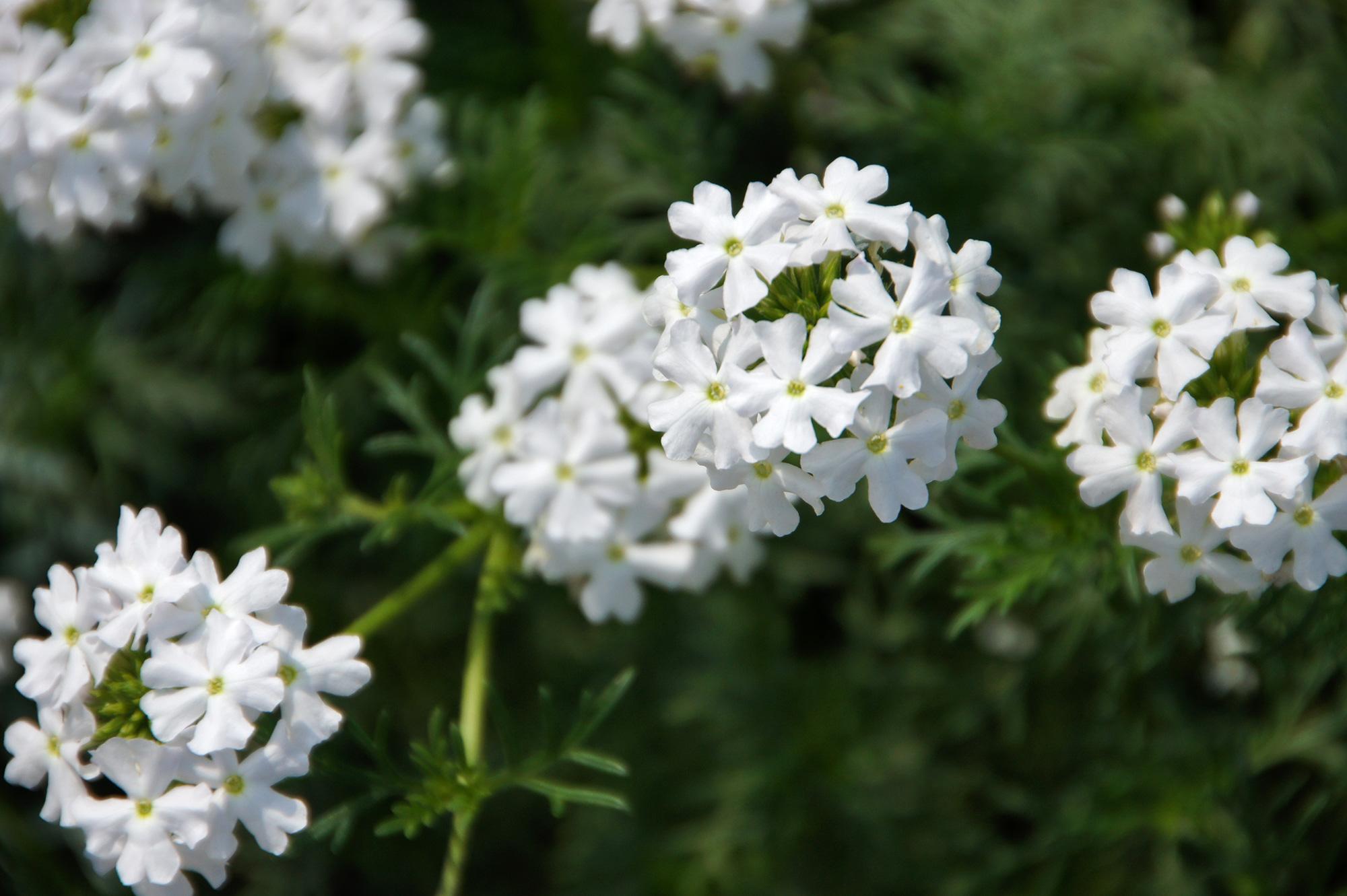 白いバーベナの無料写真素材