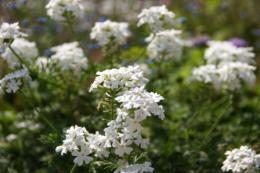 白色のバーベナの花のフリー写真素材