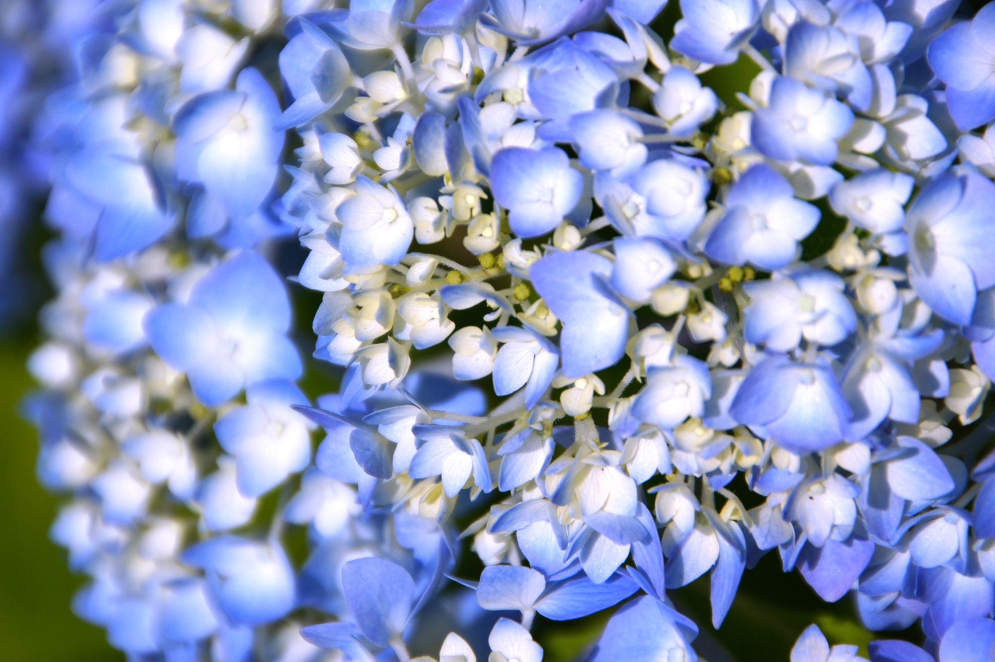 青い紫陽花のフリー写真素材