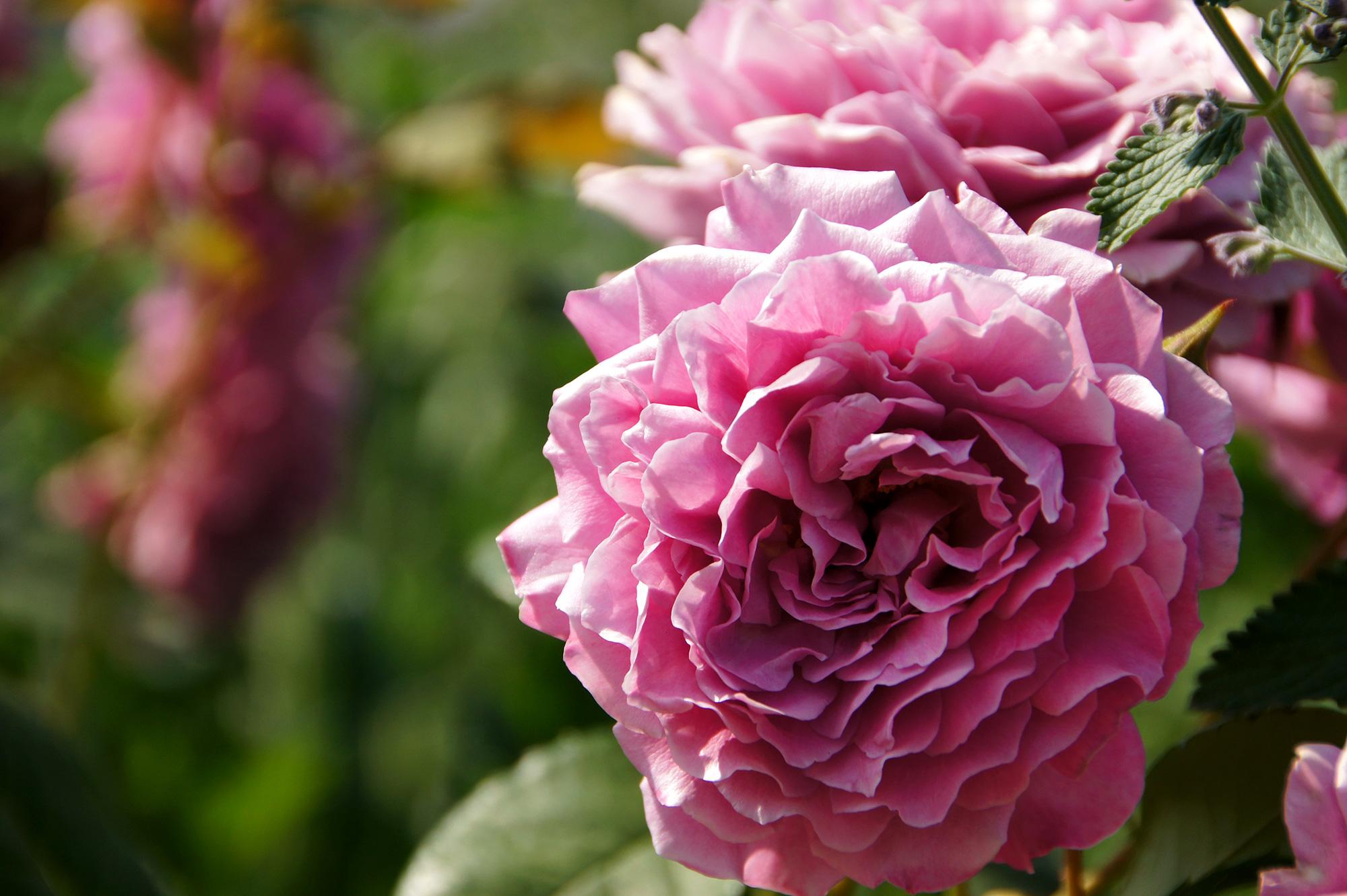 明るい屋外の花壇に咲く薔薇のフリー素材