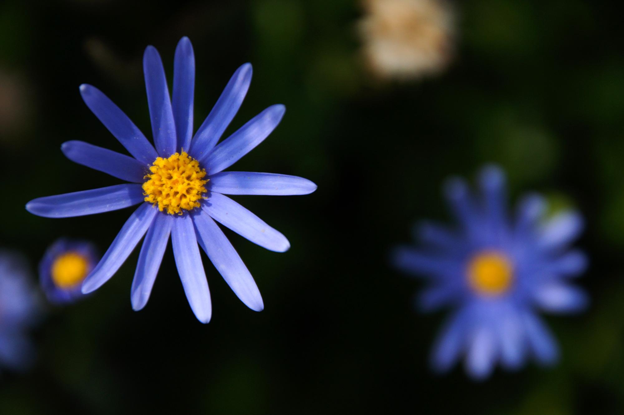 青紫の可愛らしい花のフリー写真素材