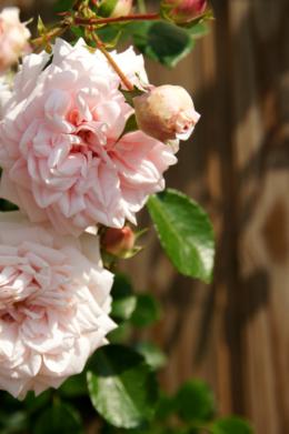 明るい屋外に咲く淡いピンク色の薔薇のフリー素材