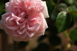 一輪のピンク色のバラのフリー写真素材